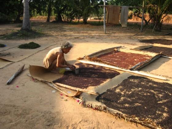 Frau kutscht auf Pfefferplantage auf Puh Quoc