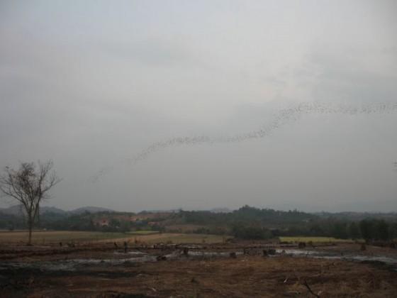 Fledermäuse schwärmen wie am Band aufgereiht durch den Himmel