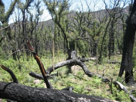 Verkohlte Bäume mit viel nachwachsendem Grün nach einem Brand in den Grampians