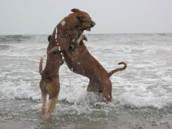 Im Wasser spielende Hunde