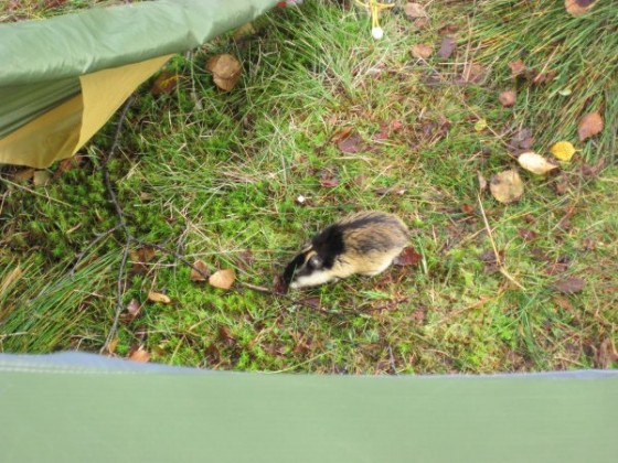 Lemming auf dem Weg in unser Zelt