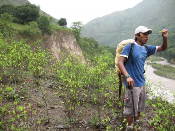 Kleines Feld mit Kokapflanzen