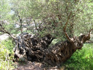 """Ein alter Olivenbaum auf dem Weg zum """"einsamen"""" Strand Milos bei Agios Nikitas."""