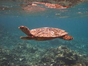 Eine Meeresschildkröte beim Schnorchelausflug.