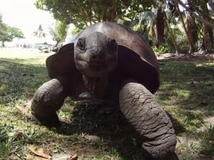 Eine Seychellen-Riesenschildkröte auf der Insel Curieuse. Neben ziemlich vielen dieser Schildkröten gibt es auf dieser Insel geniale Strände.